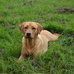 Fizz - Working Labrador Born April 2nd 2011