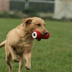 Henry - Working Labrador Born April 14th 2005